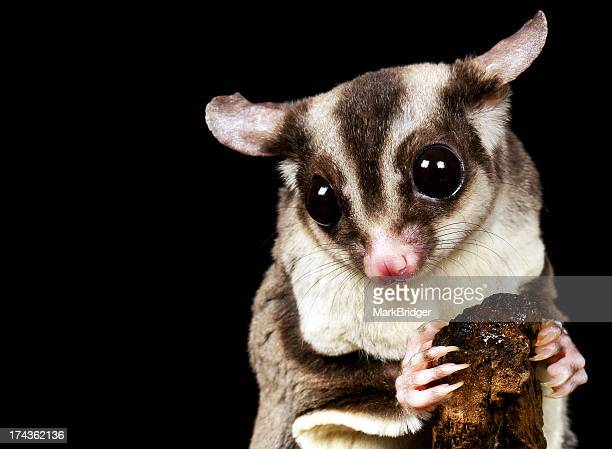 gizmo - sugar glider stock photos and pictures