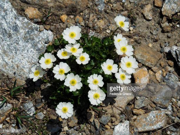 glacier buttercup (ranunculus glacialis) flowering in formazza valley - buttercup stock pictures, royalty-free photos & images