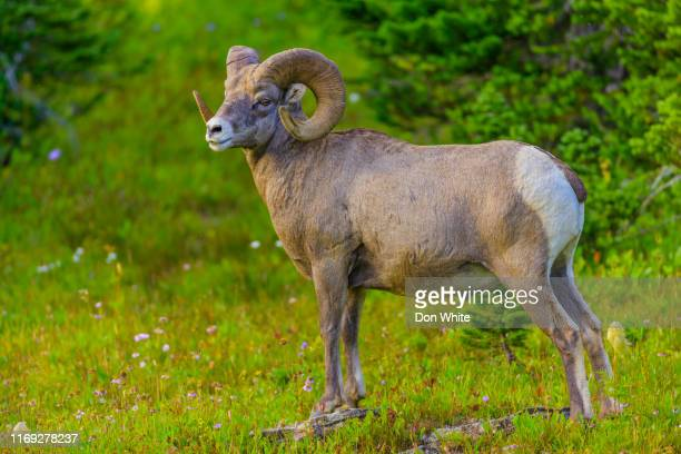 glacier national park in montana usa - file:bighorn,_grand_canyon.jpg stock pictures, royalty-free photos & images