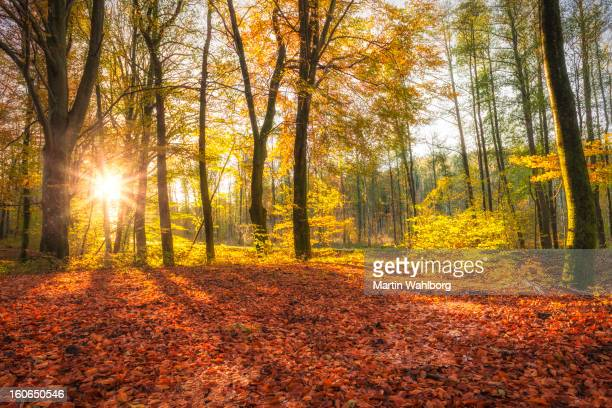 Glade im Buche forest