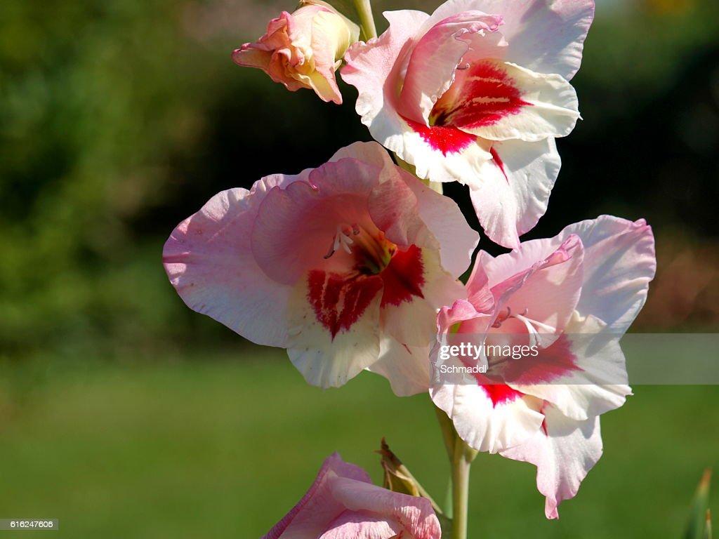 Gladiole im Garten : Foto de stock