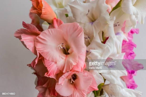 gladiolen - flowers - グラジオラス ストックフォトと画像
