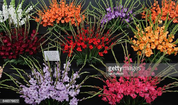 Gladioli flowers form part of a display at the Great Yorkshire Show on July 12 2016 in Harrogate England The annual Great Yorkshire Show now in its...
