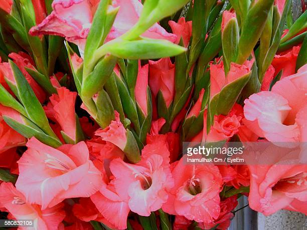 gladiolus blooming outdoors - gladiolus stock pictures, royalty-free photos & images