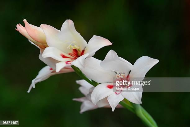 gladiolus carneus   - gladiolus stock pictures, royalty-free photos & images