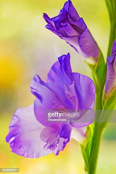 Gladiolus, Gladiolus cultivar.