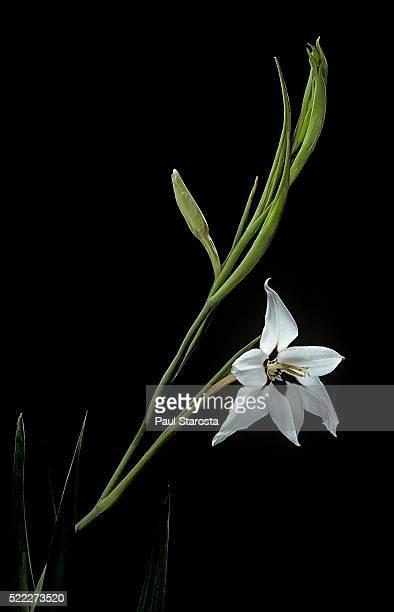 gladiolus murielae (abyssinian gladiolus, peacock flower) - グラジオラス ストックフォトと画像