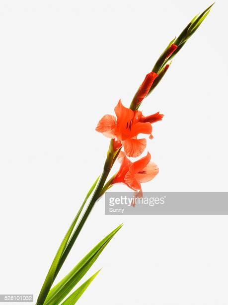 gladiolus - グラジオラス ストックフォトと画像