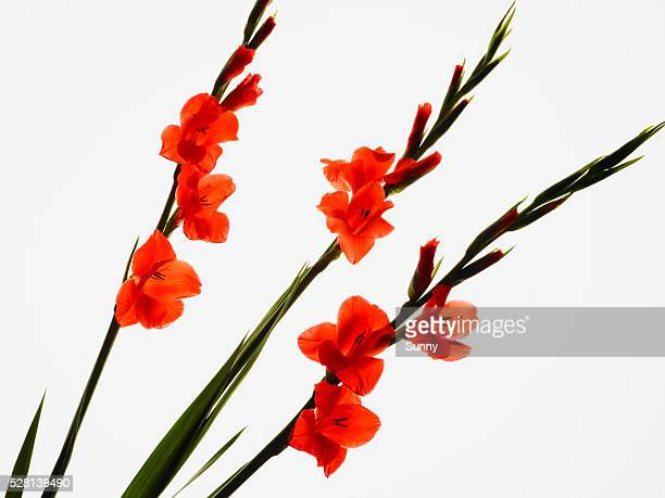 gladiolus - long stem flowers stock pictures, royalty-free photos & images