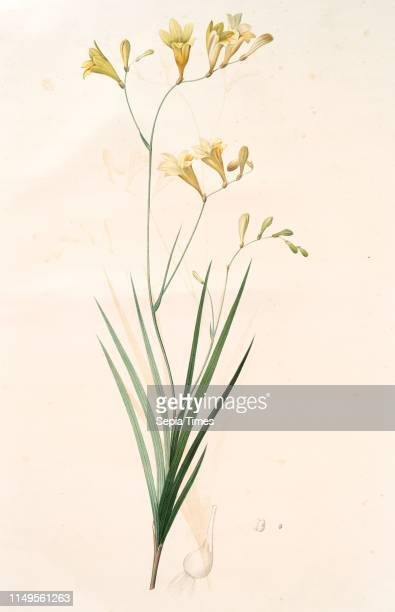 Gladiolus refractus Freesia refracta Gla•eul a tiges coudees Freesia Redoute Pierre Joseph 17591840 les liliacees 1802 1816