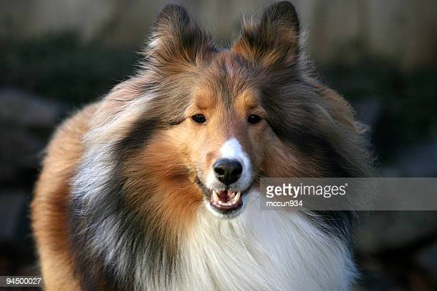 glamor shot - collie stock photos and pictures