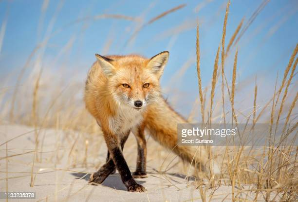 glamorous red - red fox stock pictures, royalty-free photos & images