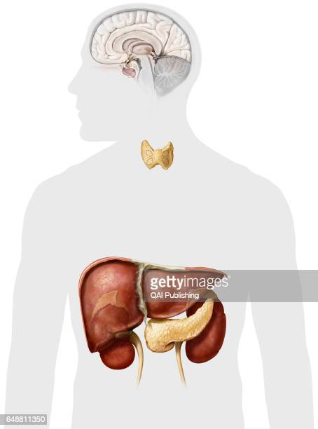 Glands and organs of the endocrine system This image shows the glands and the organs of the endocrine system