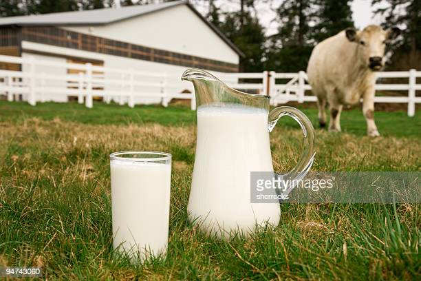A glass and pitcher full of milk in front of a cow
