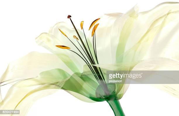 ガラス花を分離、ユリの花