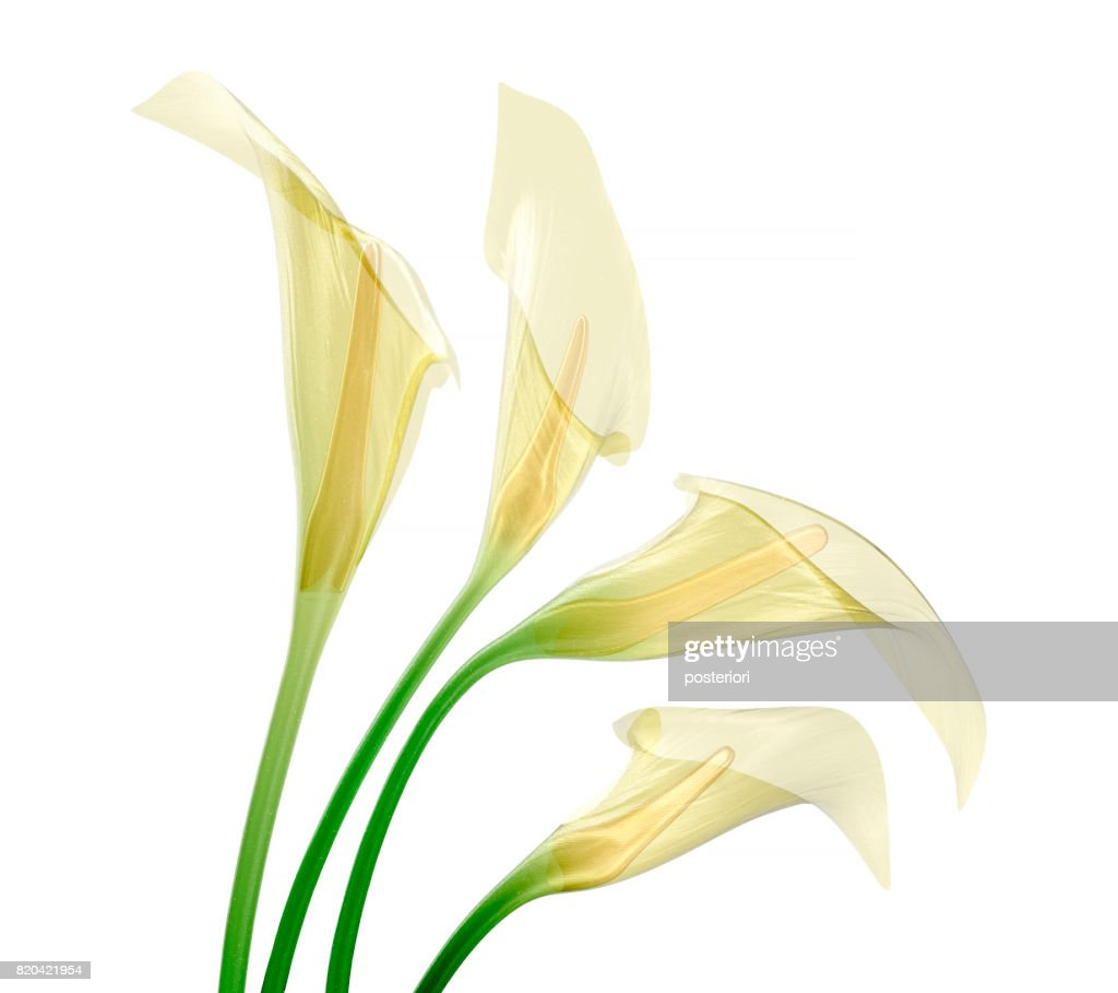 glass flower isolated , the lily flower : Stock Photo