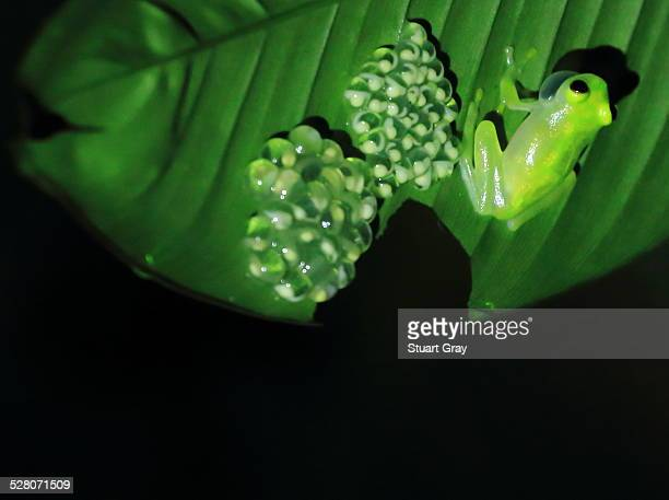 Glass frog, frogspawn on leaf. Black background