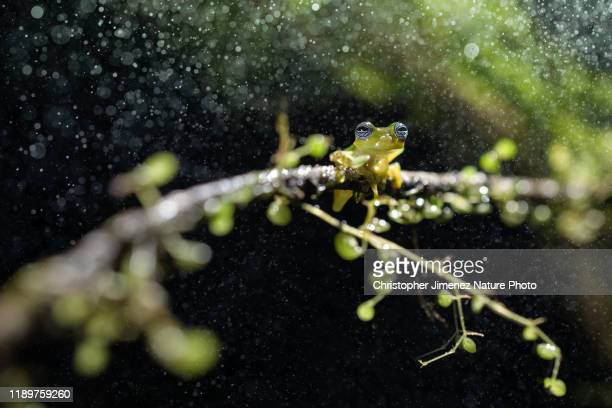 glass frog under the rain - christopher jimenez nature photo stock pictures, royalty-free photos & images