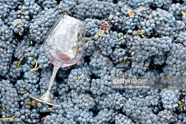 glass on fresh harvest pinot grapes - pinot noir grape stock photos and pictures