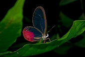 glass wing butterfly at night amazon