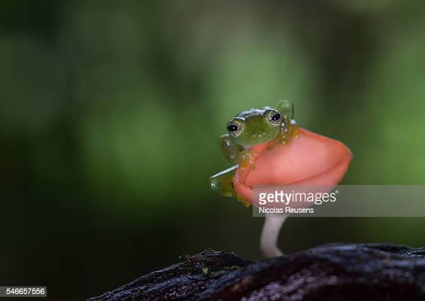 Glassfrog on mushroom