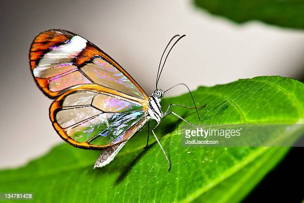 glasswing butterfly - rare stock pictures, royalty-free photos & images
