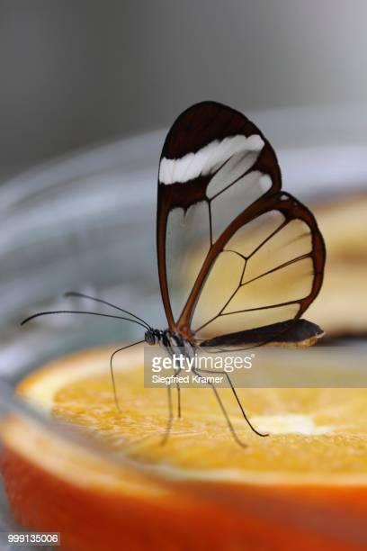 Glasswinged butterfly (Greta oto) at a food bowl, Mainau island, Baden-Wuerttemberg, Germany