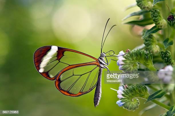 Glasswinged butterfly in butterfly house