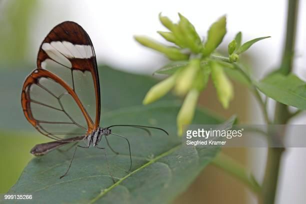 Glasswinged Butterfly (Greta oto), Mainau Island, Baden-Wuerttemberg, Germany