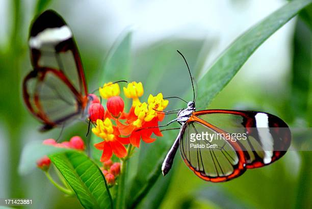 Glasswinged butterfly on a milkweed plant