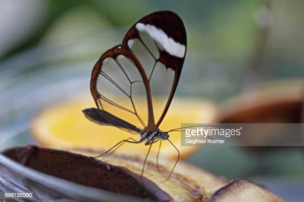 Glasswinged butterfly (Greta oto) on a piece of banana, food bowl, Mainau island, Baden-Wuerttemberg, Germany