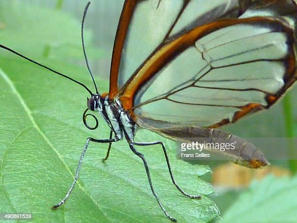 glasswinged butterfly - frans sellies stockfoto's en -beelden
