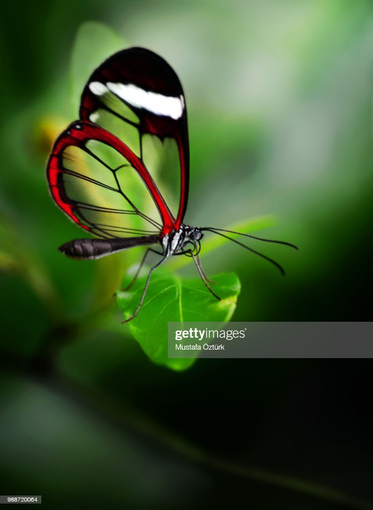 Glasswinged Butterfly Stock Photo Getty Images