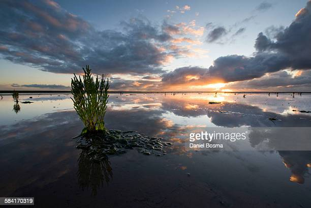 Glasswort during sunset in the Waddensea