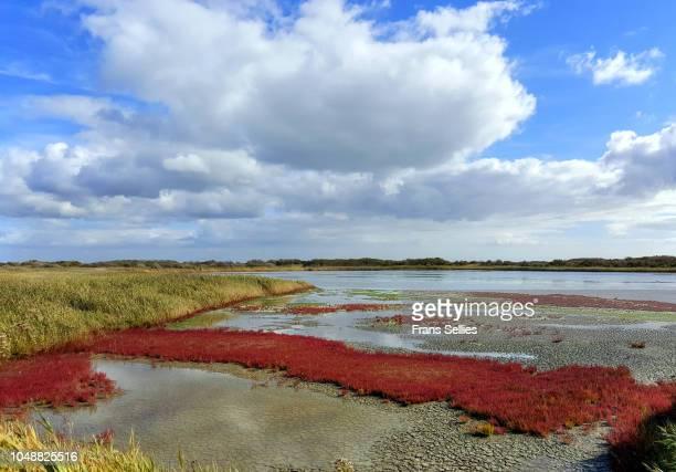 glasswort (salicornia) with autumn colors on salt marshes, wadden sea national park, vlieland, the netherlands - unesco stock-fotos und bilder