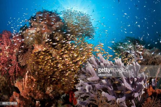 Glassy Sweepers in Coral Reef Parapriacanthus ransonneti Komodo National Park Indonesia