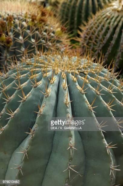 Glaucous barrel cactus Cactaceae Detail
