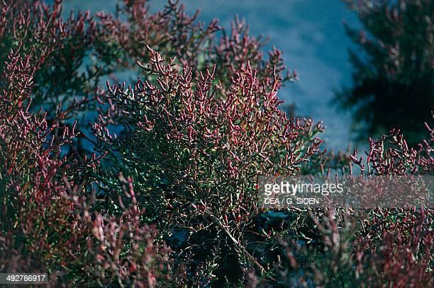 Glaucous glasswort Chenopodiaceae Camargue France
