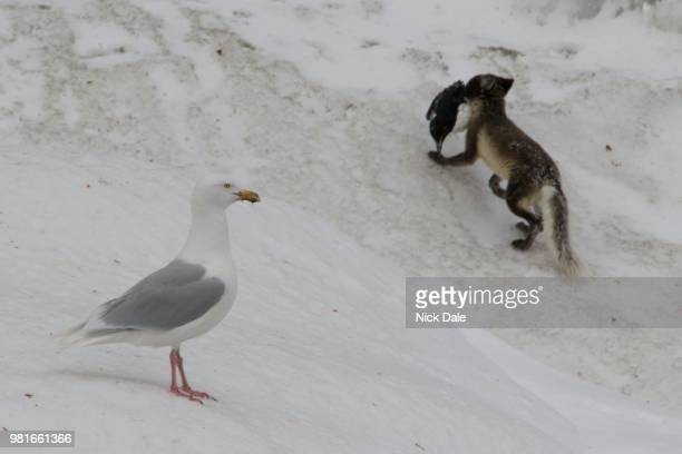 Glaucous gull and Arctic fox carrying guillemot