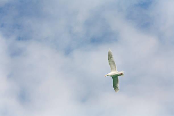 Glaucous Gull In Flight In Cloudy Blue Sky Wall Art