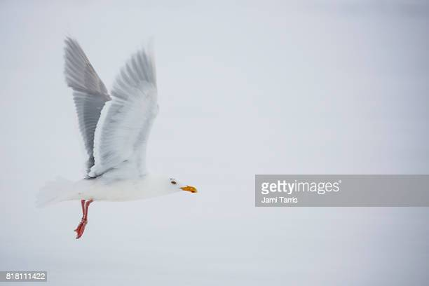 A Glaucous gull in flight