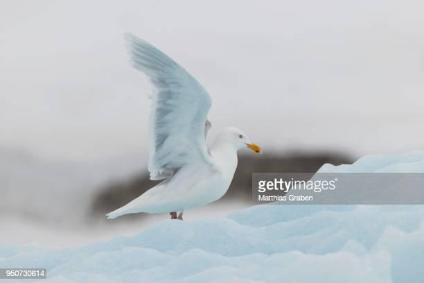 Glaucous gull (Larus hyperboreus) on ice floe, Svalbard, Spitsbergen, Norway