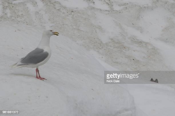 Glaucous gull spotting Arctic fox behind snowbank