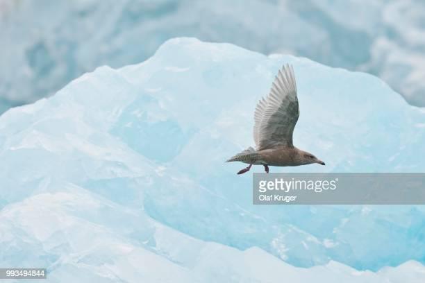 Glaucous Gull (Larus hyperboreus), young, Svalbard Archipelago, Svalbard and Jan Mayen, Norway