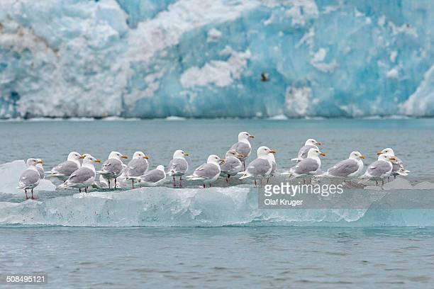 Glaucous Gulls -Larus hyperboreus- standing on an iceberg, Arctic Ocean, Spitsbergen, Svalbard Islands, Svalbard and Jan Mayen, Norway