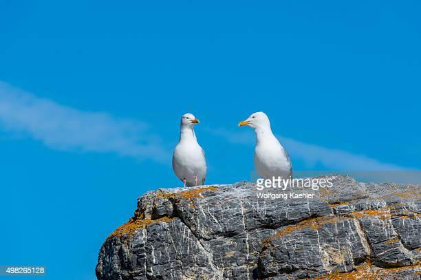 Glaucous gulls sitting on a rock near their nest at Gnålodden in the Hornsund in Svalbard Norway