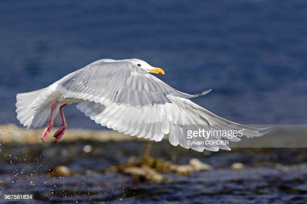 Glaucouswinged Gull flying on August 22 2011 in Katmai National Park and Preserve Alaska United States