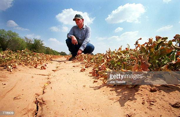 Glen Armstrong exmines his dead peanut plants September 7 2000 in Dublin Texas where a drought has made his crop unharvestable Armstrong said he has...