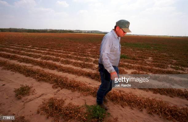 Glen Armstrong walks in a field of dead peanut plants September 7 2000 in Dublin Texas where a drought has made his crop unharvestable Armstrong said...