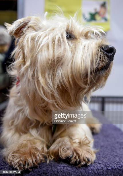 Glen of Imaal Terrier Basil at The National Pet Show at NEC Arena on November 03 2018 in Birmingham England